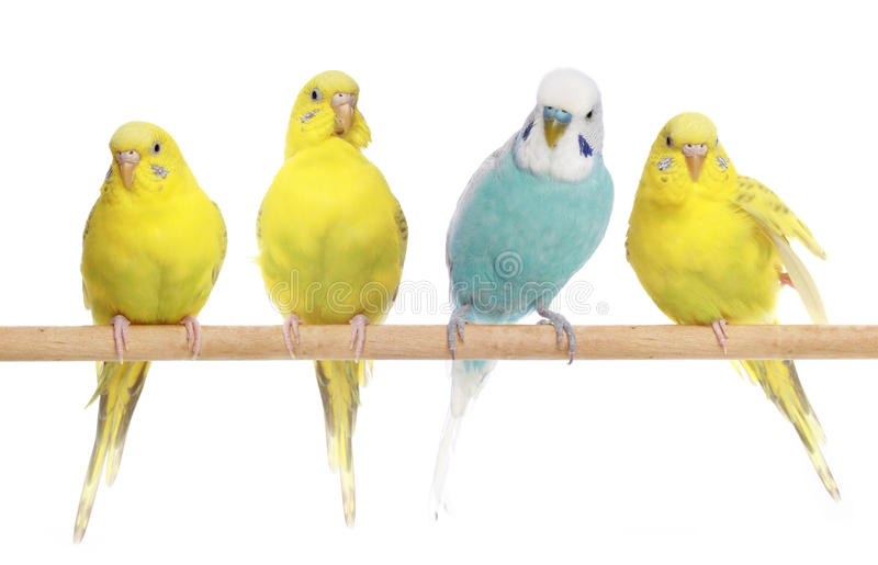 Blue and three yellow budgerigars on a branch stock photo