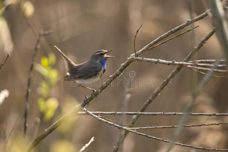 Blue Throat,  Luscinia svecica. Bird. The Blue Throat is a real Songbird. it sings beautiful and loud royalty free stock images