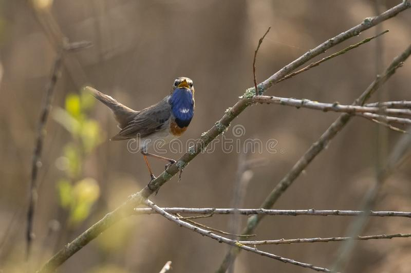 Blue Throat,  Luscinia svecica. Bird. The Blue Throat is a real Songbird. it sings beautiful and loud royalty free stock photography