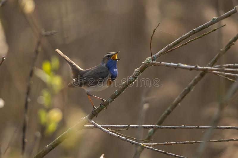 Blue Throat,  Luscinia svecica. Bird. The Blue Throat is a real Songbird. it sings beautiful and loud stock photography