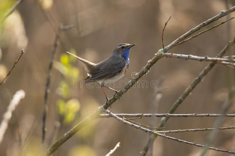 Blue Throat,  Luscinia svecica. Bird. The Blue Throat is a real Songbird. it sings beautiful and loud stock photo