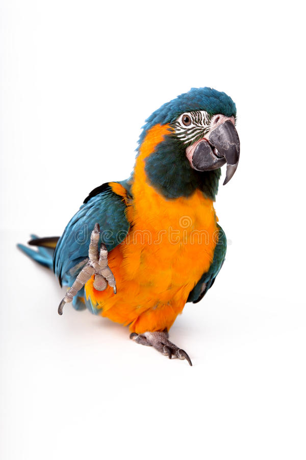 Blue-throated macaw stock images