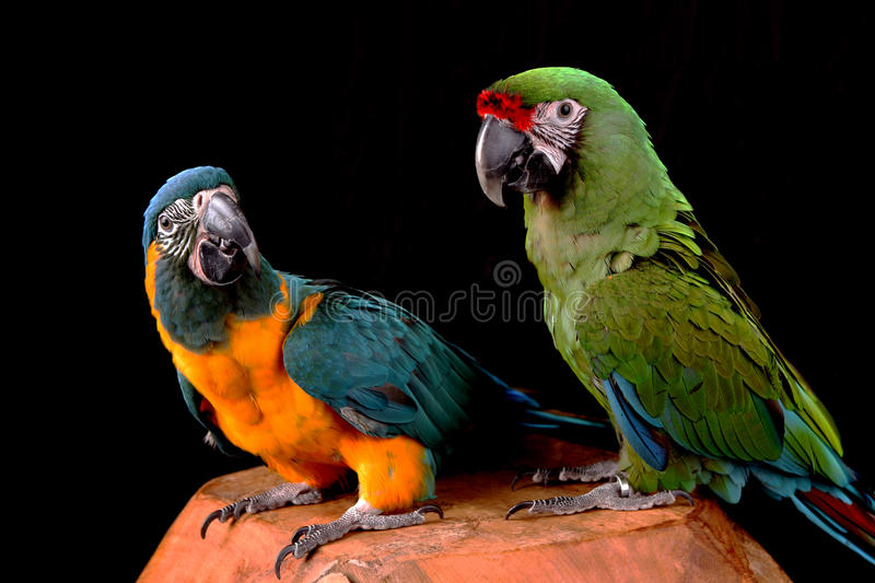 Blue-throated and military macaw royalty free stock photography