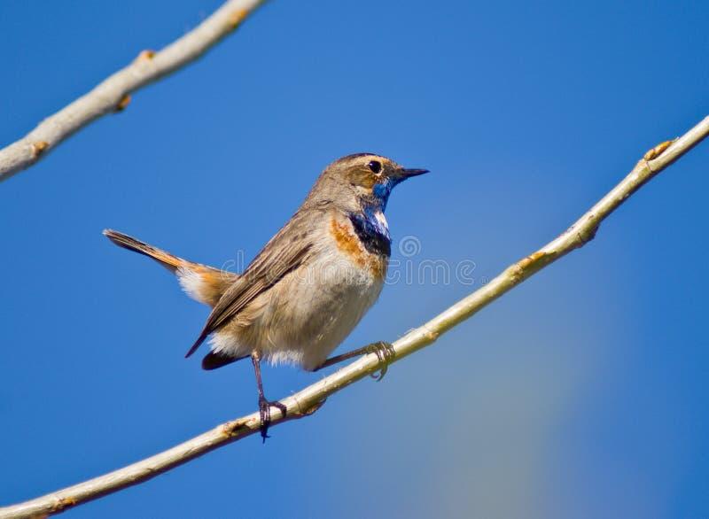 Download Blue-throated warbler stock image. Image of sitting, svecica - 14875487