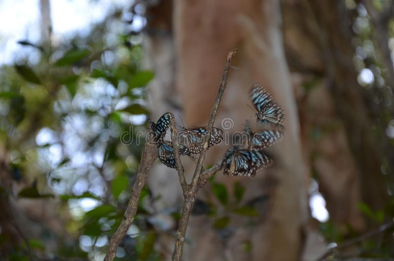 Blue tiger butterflies colony stock photo
