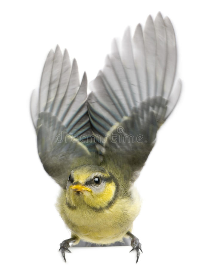 Free Blue Tit, 23 Days Old, Flapping Wings Against Stock Images - 14886034