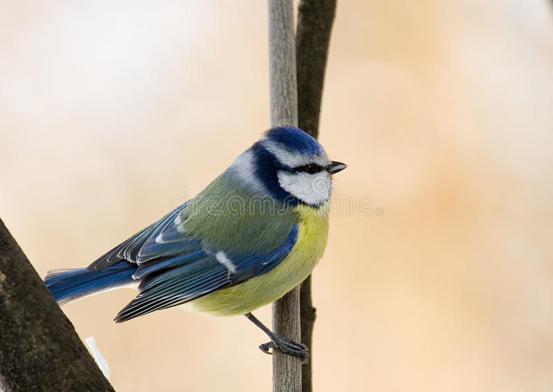 Download Blue Tit stock image. Image of small, blue, cyanistes - 27495125