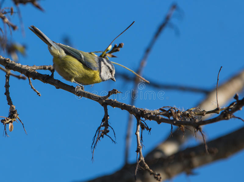 Download Blue Tit stock image. Image of feathers, caeruleus, jumping - 28201847