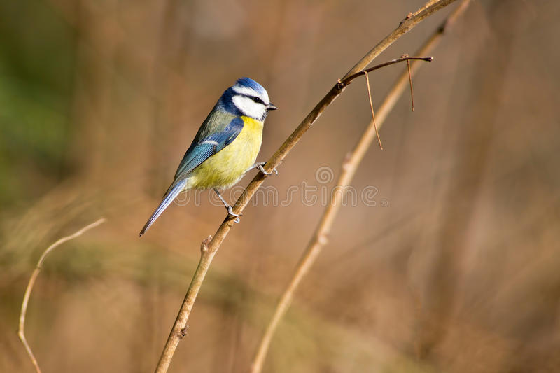 Download Blue tit stock photo. Image of bird, caeruleus, colorfull - 28356374