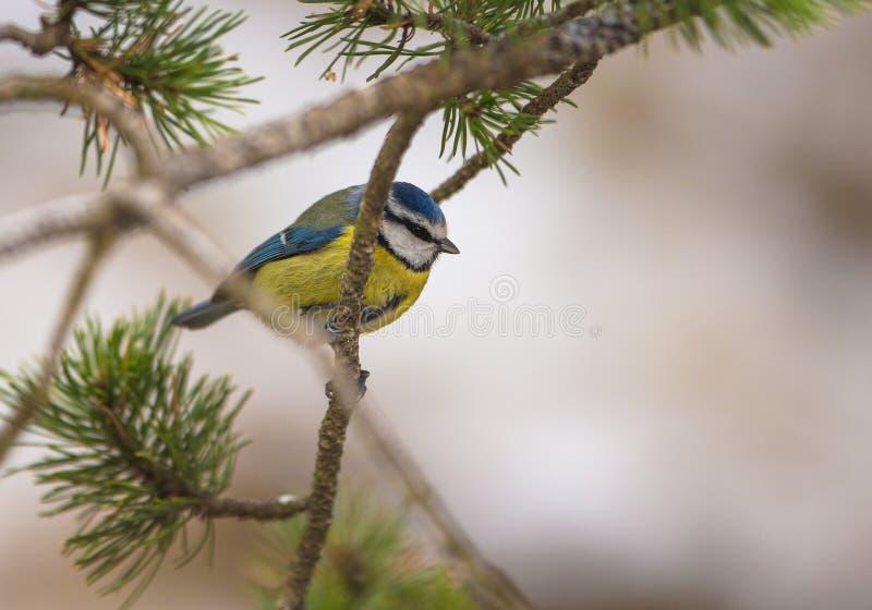 Download Blue Tit stock image. Image of colours, branch, parus - 28957565