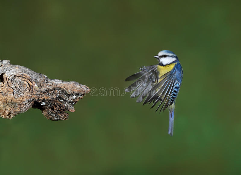 Download Blue tit stock photo. Image of feathers, camera, legs - 29220152