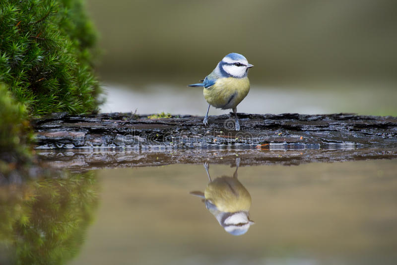 Download Blue tit stock photo. Image of wildlife, pond, moss, mirroring - 29284138