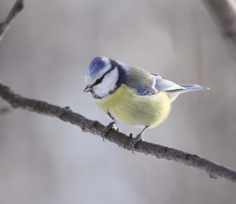 Download Blue tit stock photo. Image of feet, feathered, claw, nature - 7743638