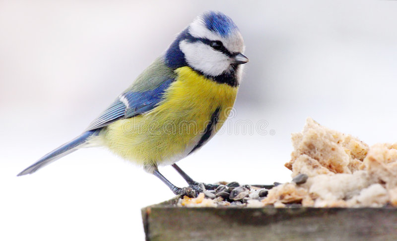 Blue tit. In bird table royalty free stock photography