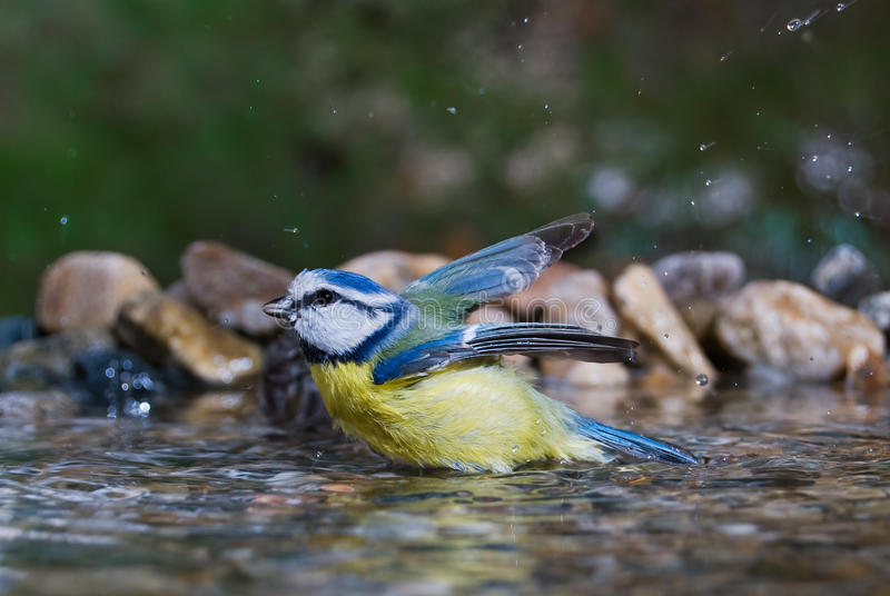 Blue tit bathing royalty free stock photography