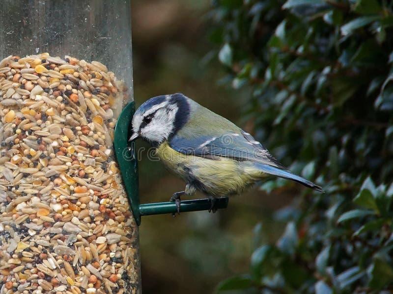 Blue tit on bird feeder stock photography