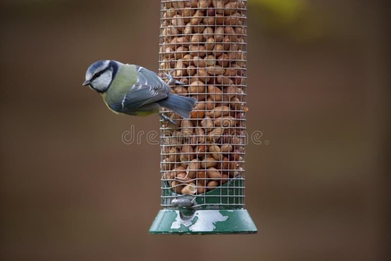 Bird on feeder. Blue tit on bird feeder eating nuts royalty free stock photos