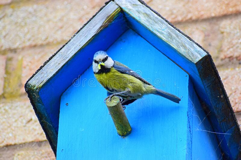 A Blue Tit Bird With A Worm On A Nesting Box stock photo