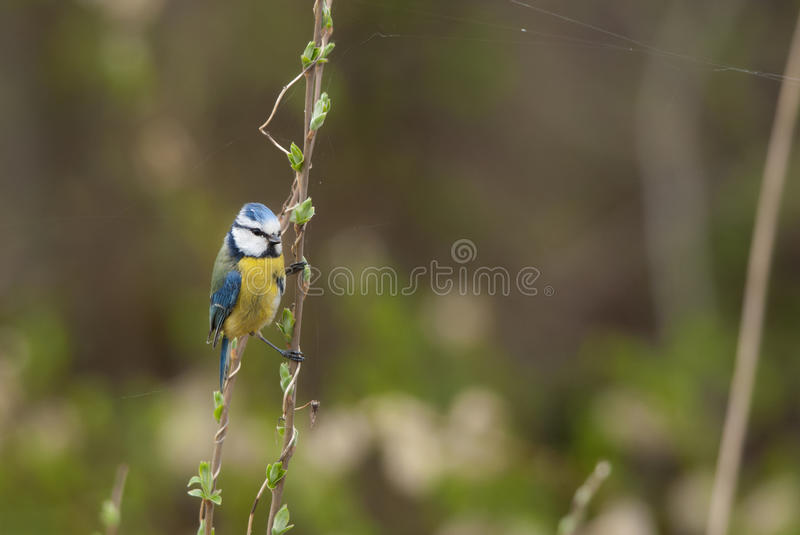 Blue Tit. On a branch with catkins stock photos
