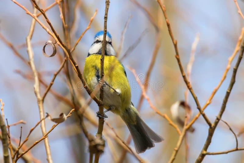 Blue tit on branch, Eurasian blue tit, Cyanistes caeruleus Cute little Bird stock images