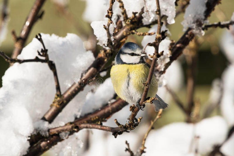 Blue tit in bush with snow royalty free stock image