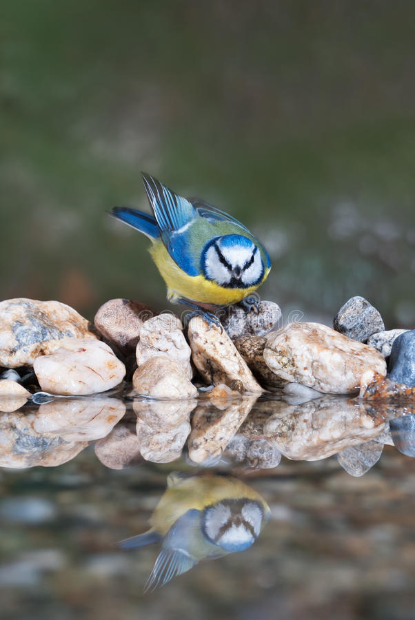 Blue tit coming to drink. A garden bird (blue tit) coming at a birdbath to drink royalty free stock images