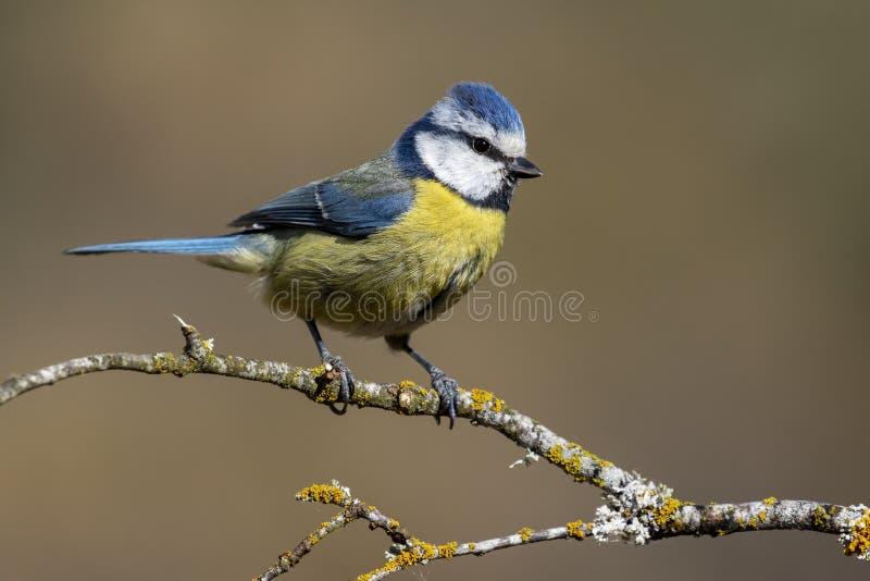 Blue tit,  Cyanistes caeruleus  posing for photo. Spain stock photos