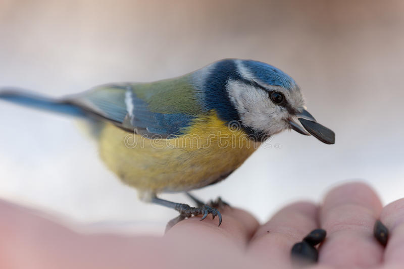 Download The Blue Tit Eats Sunflower Seeds Stock Photo - Image of palm, food: 24009864