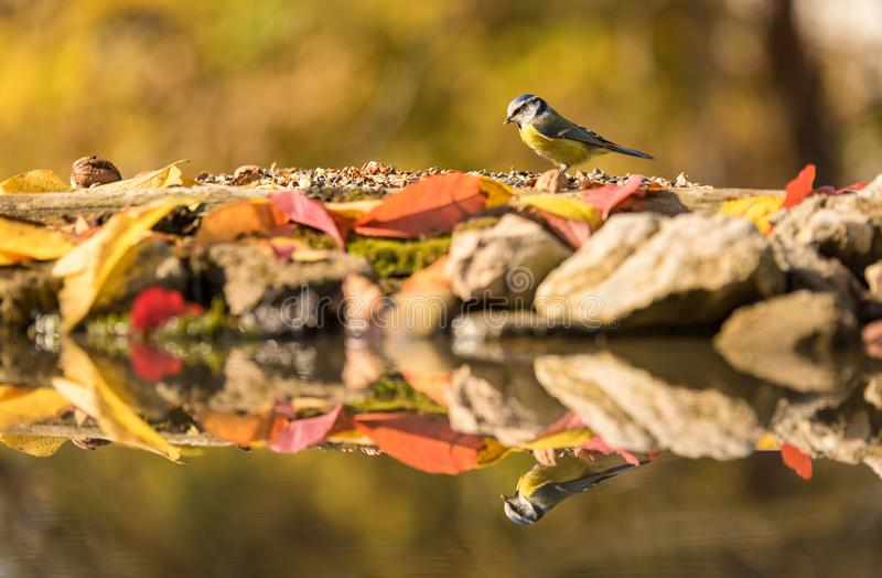 Blue tit on a feader an autumns day. Blue tit on a feader a sunny autumns day stock photos