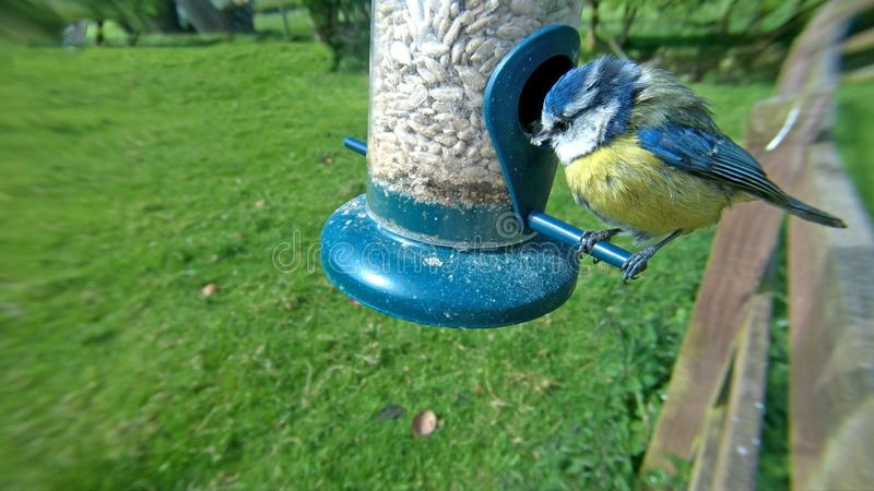 Blue Tit feeding from a Tube peanut seed Feeder on a bird table royalty free stock photography