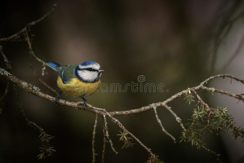 Blue tit on spruce branch. The blue tit makes a quick stop at a spruce branch and is immediately ready to fly onwards. A weak flash was needed to get some light royalty free stock photography