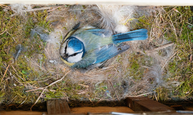 Blue Tit at nest box on eggs