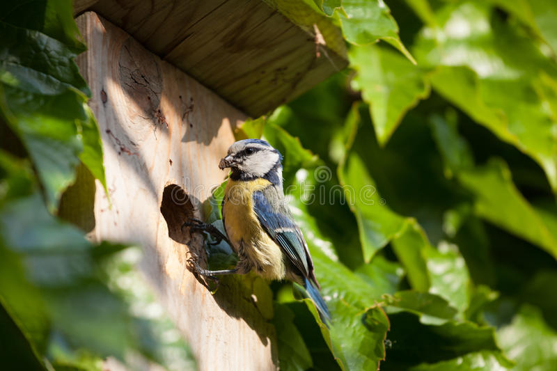 Download Blue tit  by a nesting box stock photo. Image of parent - 26325900