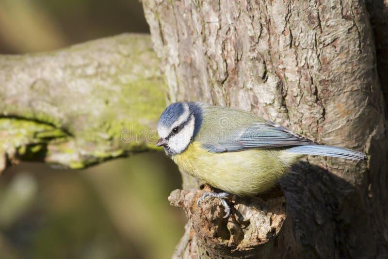 Download Blue Tit  (Parus Caeruleus) Stock Image - Image: 26595301