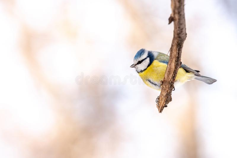 Blue tit Parus caeruleusresting on tree branch stock photography