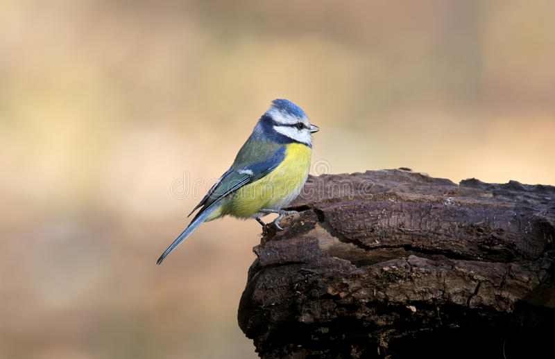 Blue tit posing. Close up The identifications signs of the bird and the structure of the feathers are clearly visible stock images
