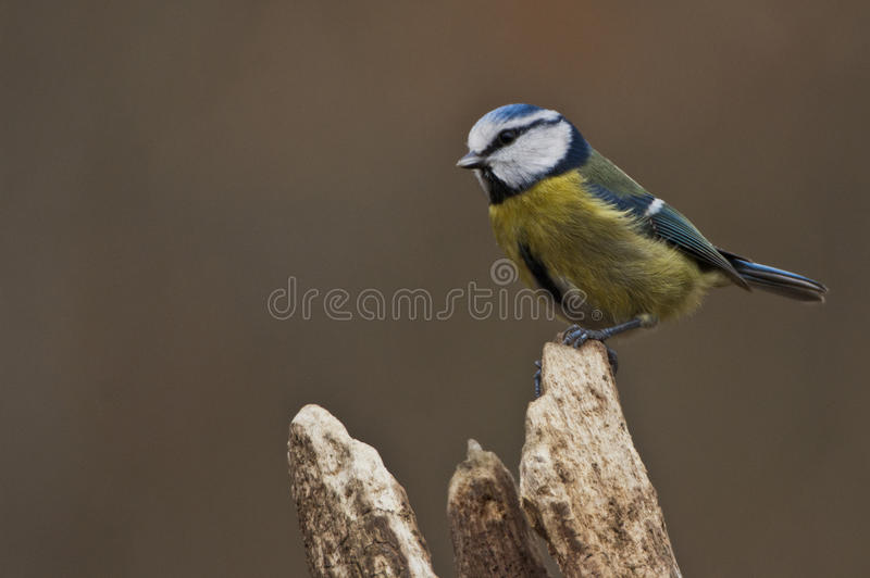 Blue Tit. Posing on a perch royalty free stock images