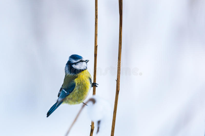 Blue Tit sit on a straw stock images