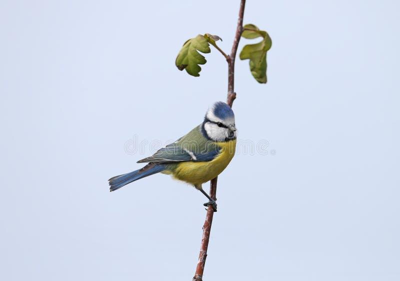 Coalport blue tit sitting on branch of catkins
