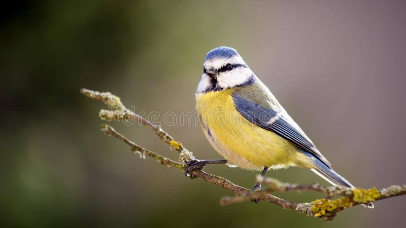 Blue tit in the Autumn Forest. royalty free stock images