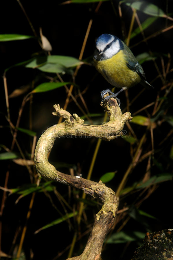 Download Blue Tit Sitting On A Perch Stock Image - Image: 18134385