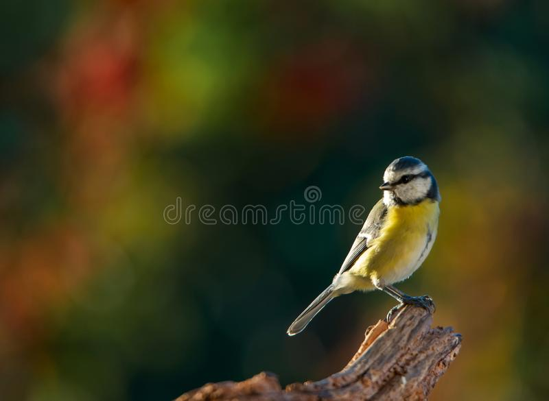Blue tit sitting on a root on an autumnal colored background stock image