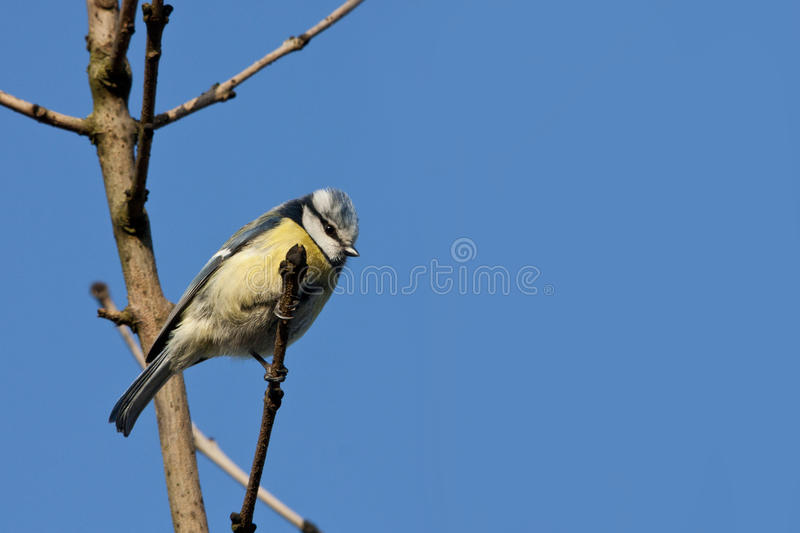 Download Blue tit stock photo. Image of animal, blue, nature, songbird - 39505162