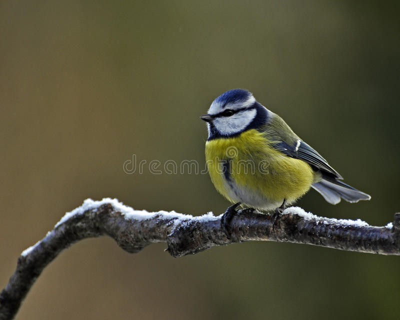 Download Blue Tit with snow stock image. Image of fauna, colour - 45825593