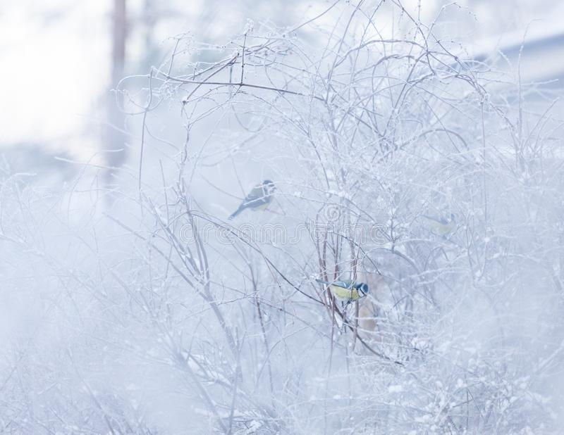 Blue tit in snowy bush royalty free stock images