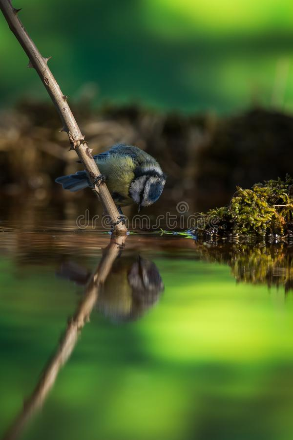 Blue tit on a straw with reflection. Blue tit with colorful surroundings and a strong reflection heading for a drink stock photo