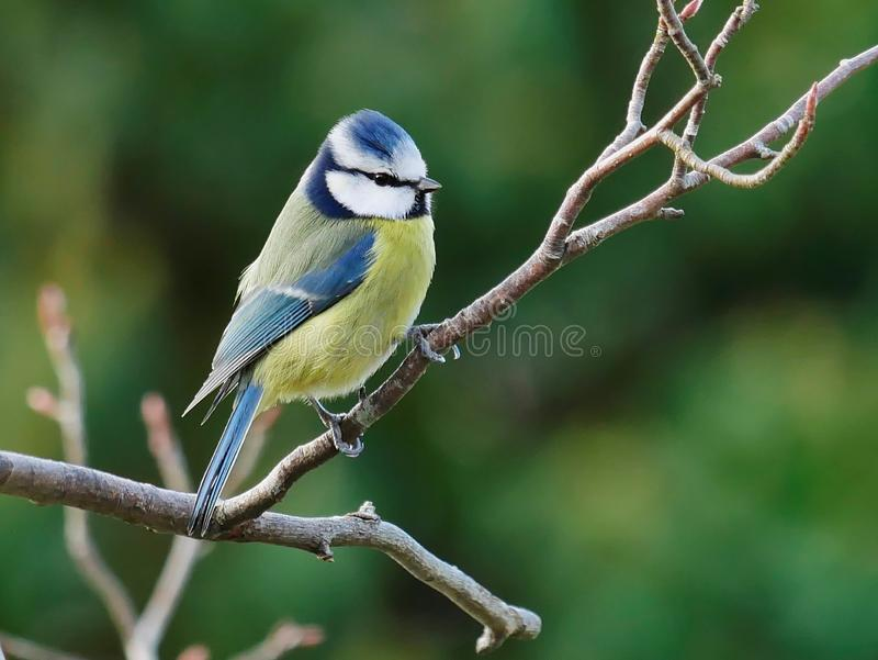 Blue tit on a twig stock images