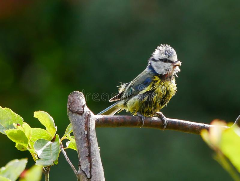 Blue tit on a twig stock photography
