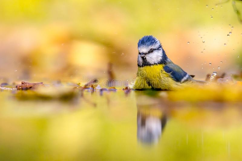Blue tit in water autumn background. Blue tit (Cyanistes caeruleus) washing and splashing in water with yellow autumn colors leaves background royalty free stock photography