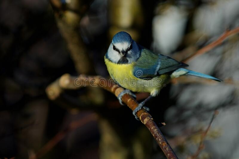 Blue tit on the west coast in Sweden royalty free stock image